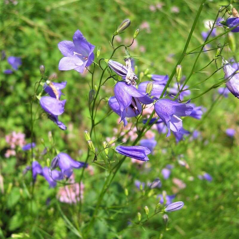 Scottish Bluebell (Harebell)