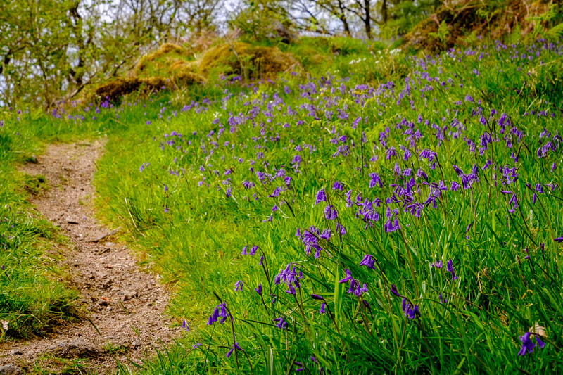 A path winding up through the bluebells towards the old abandoned croft in Ariundle Oakwood, near Strontian