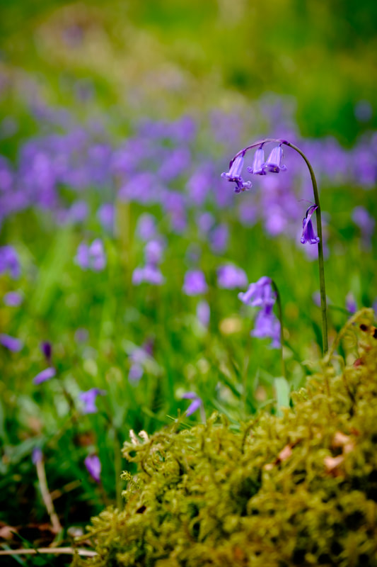 A bluebell emerging from the moss on the floor of in Ariundle Oakwood, near Strontian