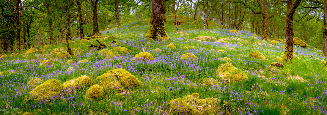 Bluebells in amongst the faerie mounds - Ariundle Oakwood near Strontian