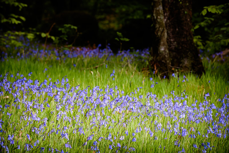 A patch of light on a carpet of bluebells on Phemie's Walk, Strontian