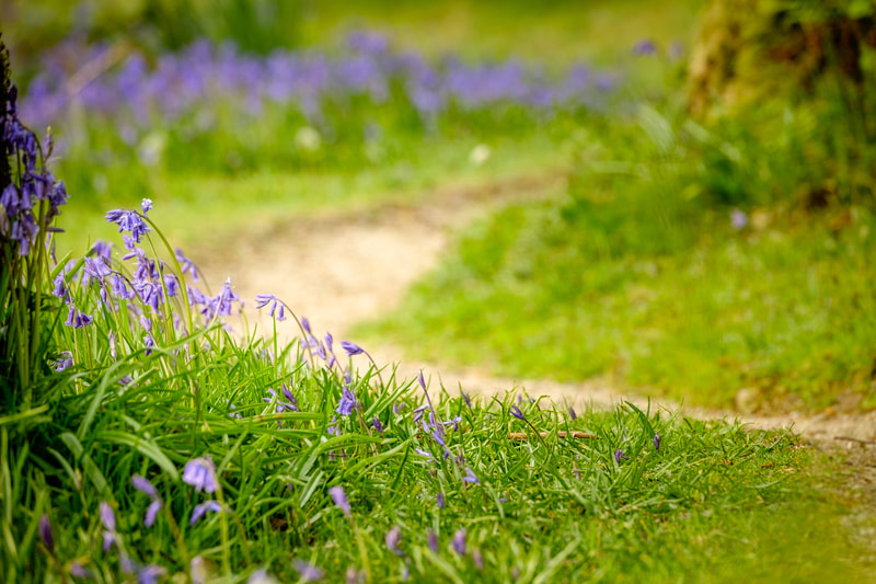 A path winding through the bluebells on Phemie's Walk, Strontian