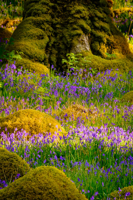 Morning light on bluebells amongst Faerie mounds in Ariundle Oakwood, near Strontian