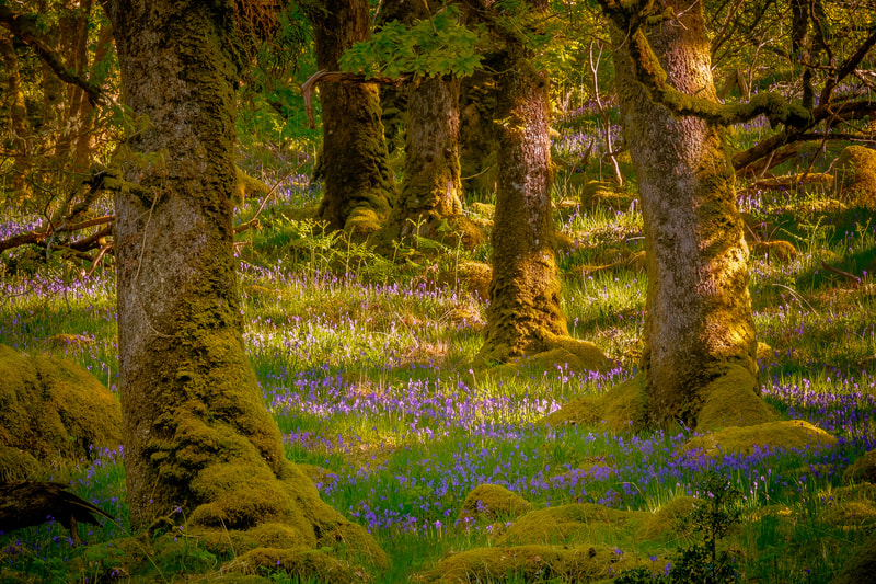 Bluebells amongst the ancient oaks in Ariundle Oakwood, near Strontian